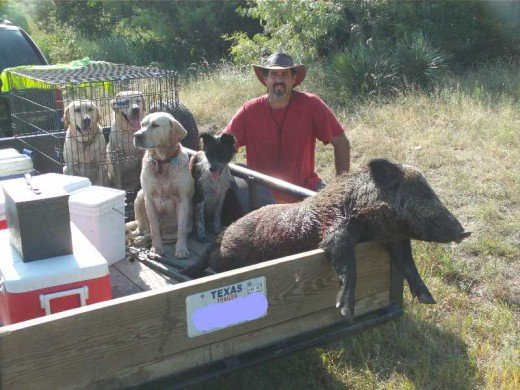 Many hunters use well trained dogs to catch wild pigs.