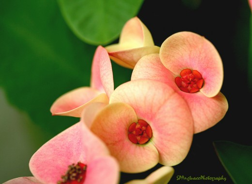 """rosy cheeks"" of Euphorbia milii"
