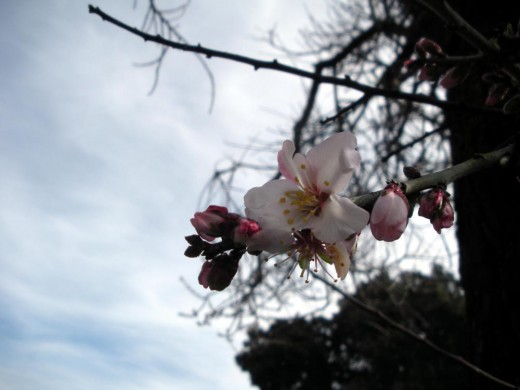 Almond blossom photos by Liz Elias, 2-4-2011