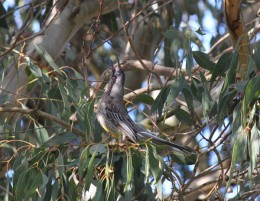 Baby Wattle Bird getting his own lunch.(Copyright)