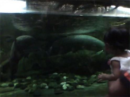Giant Arapaima