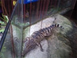 Juvenile Croc