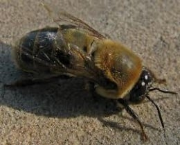 The male honey bee