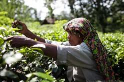 The Production Process of Ceylon Tea