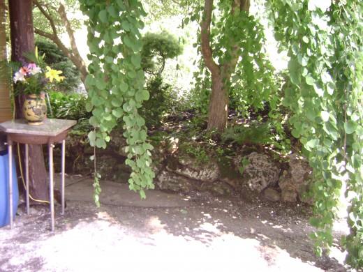 Scientific name: Cercidiphyllum japonicum Pendula Pronunciation: ser-sih-dih-FILL-um juh-PAWN-ih-kum Common name(s): Weeping Katsura Tree Curtains The Entrance