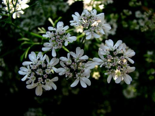 Cilantro Flowers