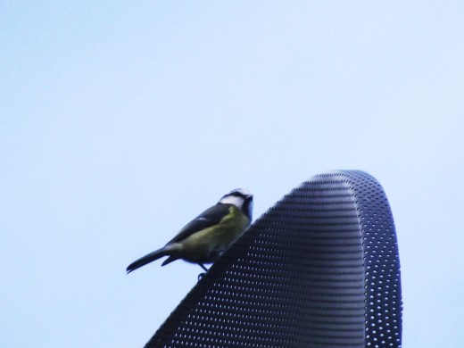 This blue tit was hunting for spiders around the satelite dish.