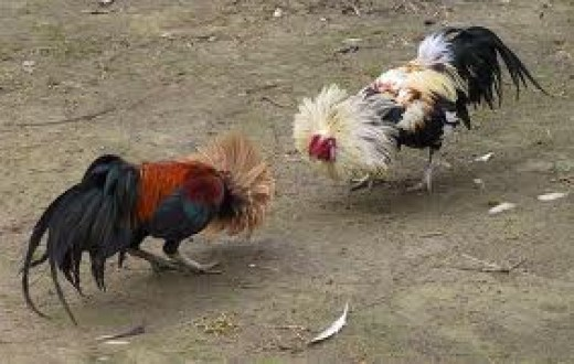 2 cocks fighting to the death in a gambling match