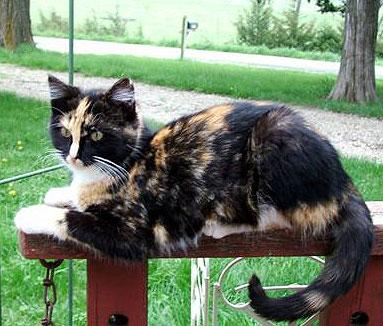 Tri colored cat