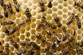 Honey Bees on new honeycomb