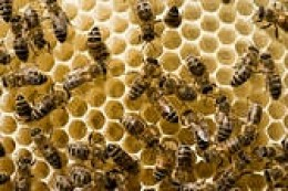 Honey Bees on new honeycomb