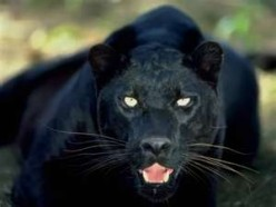 A BLACK PANTHER WAS WATCHING ME