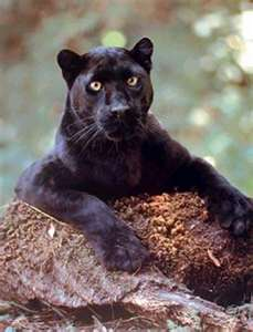 photo of black panther