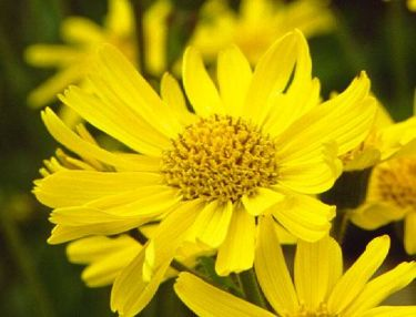 Arnica Montana - yellow healing flowers with medicinal benefits