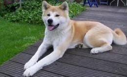 Large Breeds of Dog - The Akita
