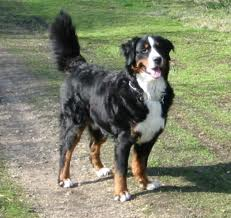 Large Breeds of Dogs - Bernese Mountain Dog