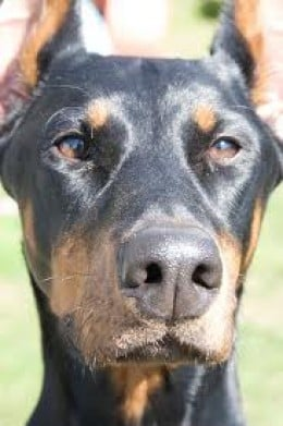 Large Breeds of Dog - Doberman Pinscher