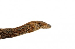 Notice the long neck, a common trait of many monitor lizards.