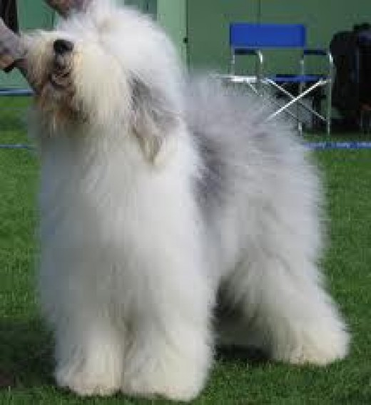 Large Dog Breeds - Old English Sheepdog