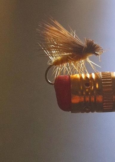 Yellow bodied Caddis