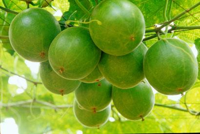 The Luo Han Guo fruit turns a dusty brown when ripe.