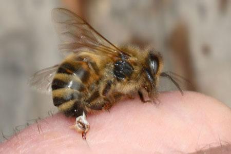 Female honeybee stinging a human