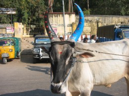 decorated cow