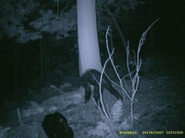 Bigfoot or Bear with Mange