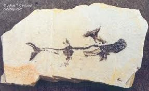 STETHACANTHUS FOSSIL