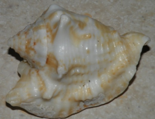 Conch Shell   Photo by Stephan