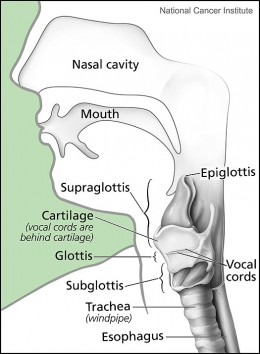 The Larynx and Nearby Structures