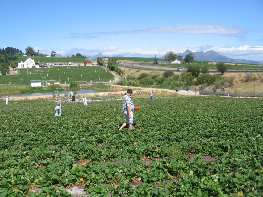 Picking Strawberries in the Winelands