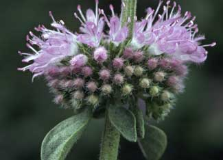 Pennyroyal will clean the aura.  It also has protective qualities.