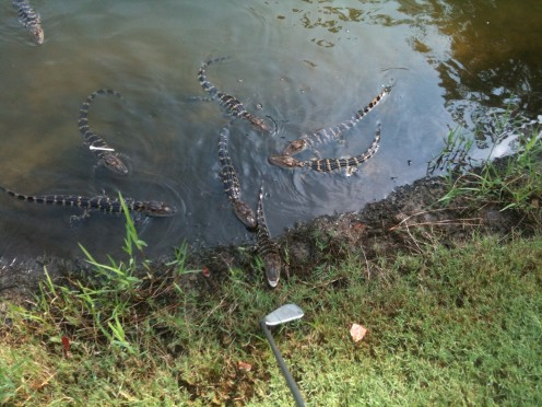 Baby alligators in a golf course lake.
