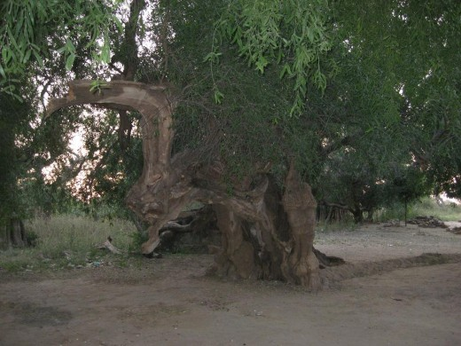 Dragon Tree, an old tree at a temple