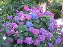 the hydrangea plant