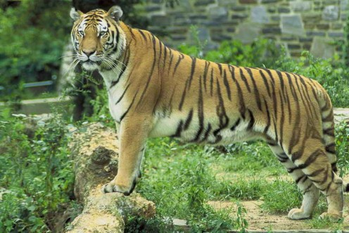 PICTURE OF A BEAUTIFUL BENGAL TIGER, NATIVE TO INDIA