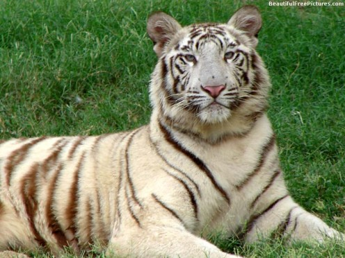 PICTURE OF A BEAUTIFUL WHITE TIGER