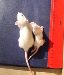 Test mice. The one on the right was fed generically modified soy from Monsanto.