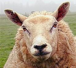 Sheep ain't no Dumb Blonds