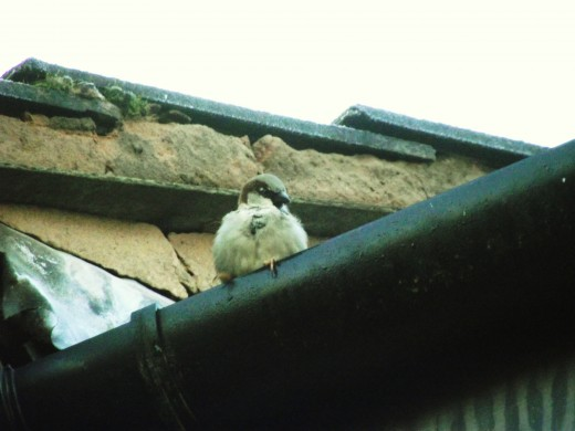 As their common name suggests the house sparrow is associated with mans' dwellings.