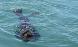 A Cape fur seal luxuriates in the calm waters of the harbour
