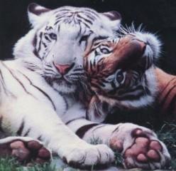 TIGER WHITE ~ TIGER BRONZE