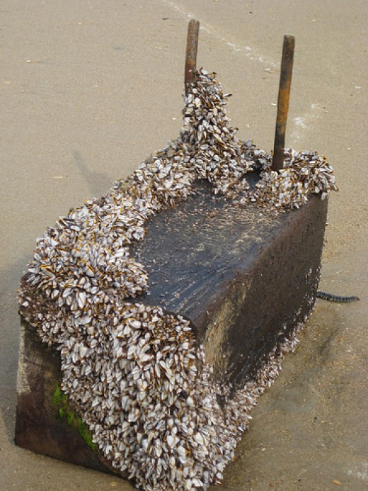 Goose Barnacles on Floating Timber
