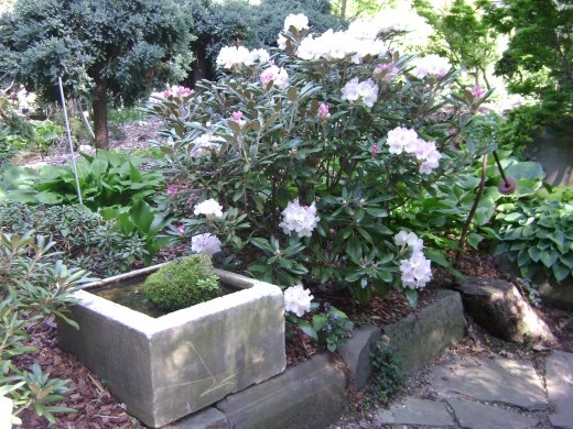 RHODODENDRON (Yak) Dear resistant