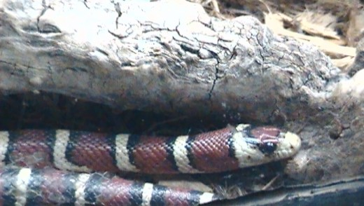 Taken at the Wild Life Zoo In AZ. Red and black poision lack Red and yellow kill a fellow