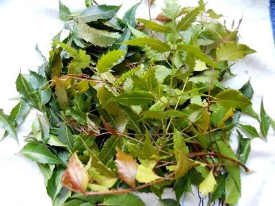 Tender neem leaves - pics by sofs