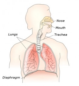 The respiratory system and the relaxed, dome-shaped diaphragm