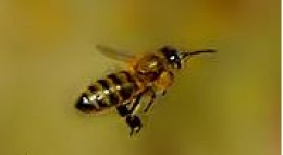 The Incredible Honey Bee...The Killer Bee vs Purebreds - photo#18