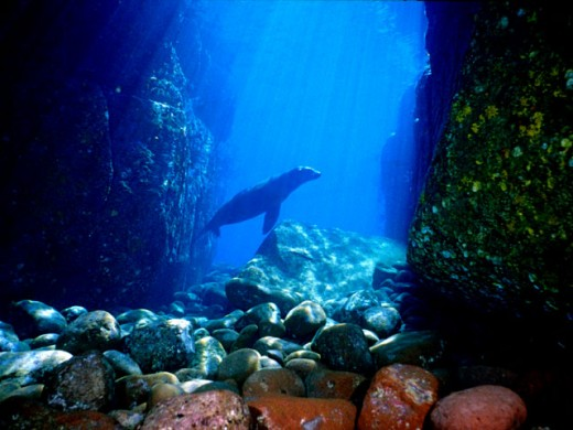 Sealion in an underwater canyon